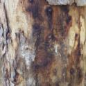 Staining beneath peeling bark on Mexican sycamore (Monica Dimson / UC Cooperative Extension)