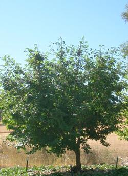 Plum tree after summer pruning
