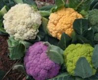 Colorful cauliflower<br>(click to enlarge)
