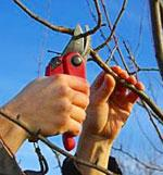 Dormant Pruning
