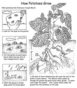 How Potatoes Grow (click to enlarge)