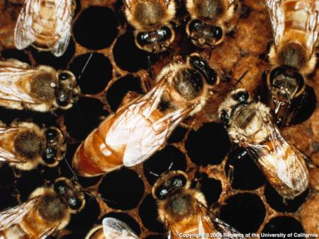 Africanized Honey Bee in a hive. Source: CISR, UC Riverside
