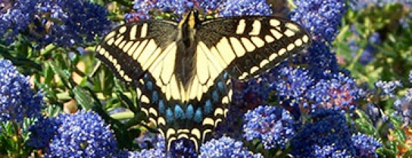 Butterfly on Ceanothus