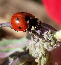 Lady beetle feeding on aphids