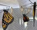 Monarchs emerging from chrysalis