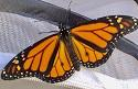 Male monarch - two black dots on the wings