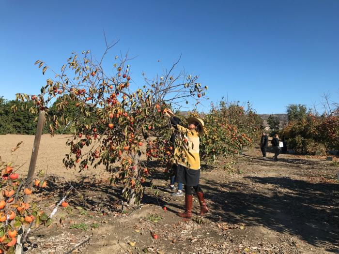 Persimmon Field Day and UPick