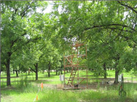 Fig. 1. Pecan trees at Site I in Riverside Co.