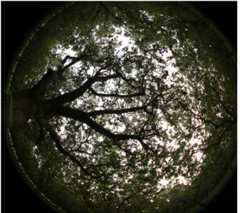 Fisheye photograph from vantage point beneath canopy