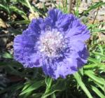 Fama blue pincushion flower