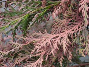 needles covered with pink pollen of Port-Orford-cedar