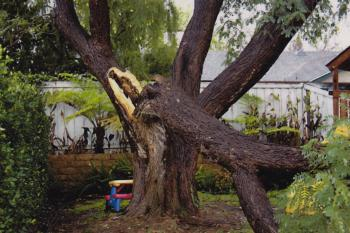Tipuana tipu (tipu tree) trunk failure. There are 4 reports for this species in the database. Photo: E. Slowik