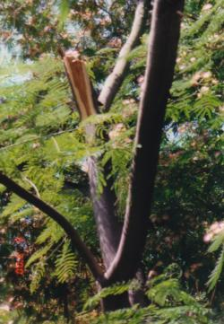 Albezia julibrissin (silk tree) trunk failure. There are 13 reports for this species in the database. Photo: unknown