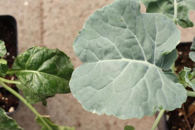 Cycloate on broccoli (leaf on left with no cuticle was treated with cycloate preplant)