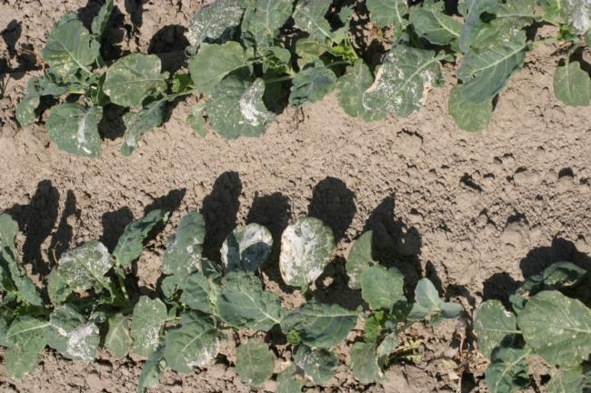 Oxyfluorfen on broccoli applied post emergence (note white bleaching on tissue)