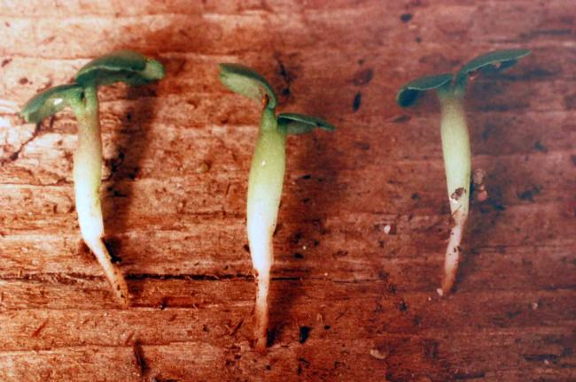 Pronamide on broccoli seedlings (note inhibition of roots and swollen hypocotyl)
