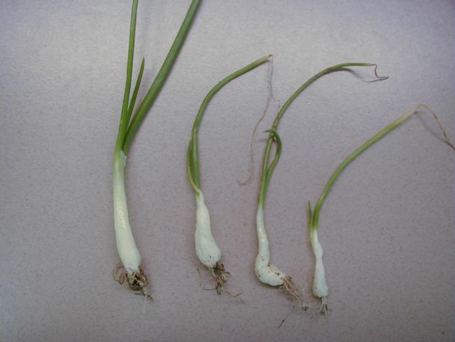glyphosate on onion (note prominant swelling of leaf sheaths)