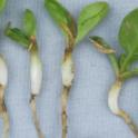 pronamide on spinach seedling (swollen hypocotyl and few feeder roots)