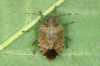 adult-female-full brown marmorated stink bug