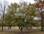 Hedge maple (Acer campestre)
