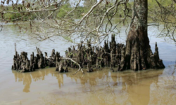Cypress Knees  (from: wikimedia.org)