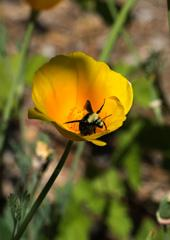 California Poppy with a bumble bee
