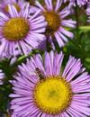 11-Nov2021Cal, sustainable, Syrphid fly, native seaside daisy