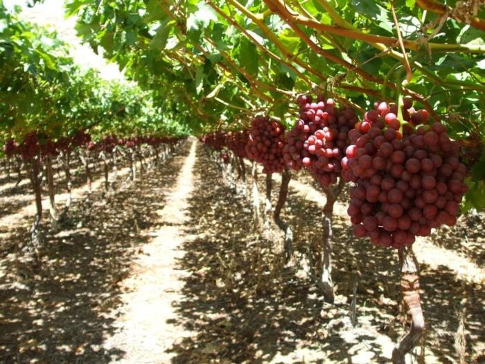 Grape Production Fresno County Viticulture