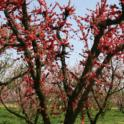 orchard2_3_23_2010