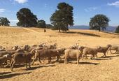Sheep at Hopland Research and Extension Center were moved out of the line of the River Fire.