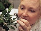 Marjorie Hoy, first woman faculty member of the UC Berkeley Department of Entomology, looks for mites on a plant.