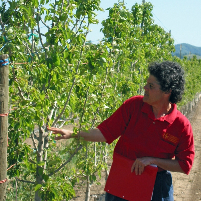 Rachel Elkins examines a pear rootstock trial in 2007.