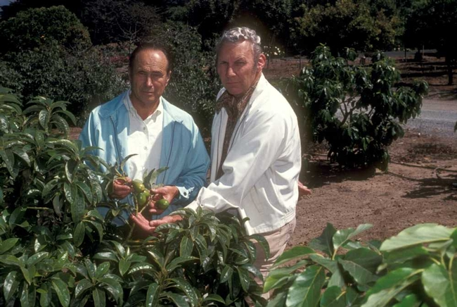 Grower Cliff Sponsell and George Goodall, right, at Sponsell Ranch in Santa Barbara, looking at Duke cutting replant in avocado root rot grove in 1977.