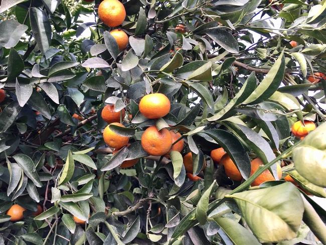 Mandarins on tree.