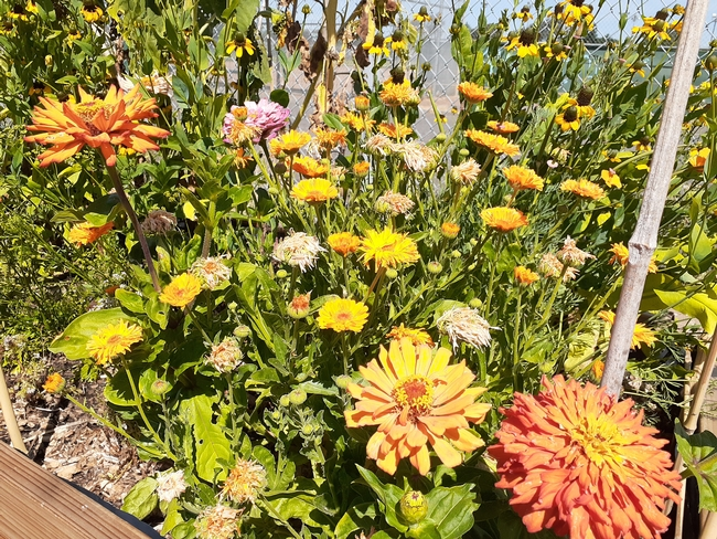Yolanda Silva, UCCE nutrition educator for Alameda County, grew flowers as well as vegetables.