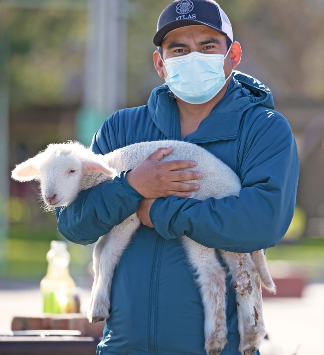 Man wearing a facemask holds a small lamb.