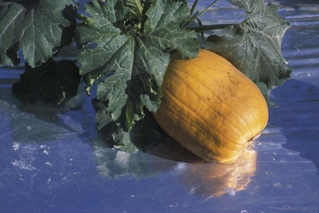Pumpkin growing on silver mulch.