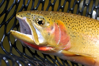 Fish biologist Peter Moyle says most native fishes, like this cutthroat trout, will suffer population declines and some face extinction from climate change.