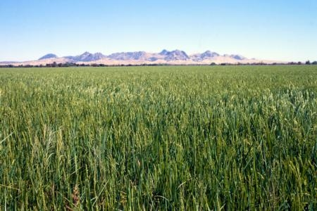 Rice growing in the Sacramento Valley.