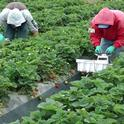 Farmworkers harvest strawberries at DB Specialty Farms in Santa Maria.