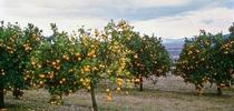 Citrus tree with HLB disease. for ANR news releases Blog