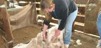 A image from a previous sheep shearing school. for ANR news releases Blog