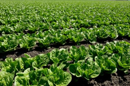 Rows of green leaf lettuce in a field.