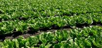 Lettuce varieties that can sprout in hot weather could become more important as global temperatures are predicted to rise. for ANR news releases Blog