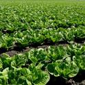 Lettuce varieties that can sprout in hot weather could become more important as global temperatures are predicted to rise.