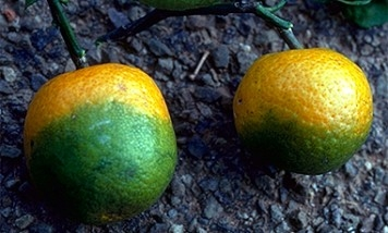 2 citrus fruit that should be orange are half colored deep green like limes.