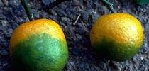 Huanglongbing is probably the most devastating citrus disease threatening the global citrus industry. for ANR news releases Blog