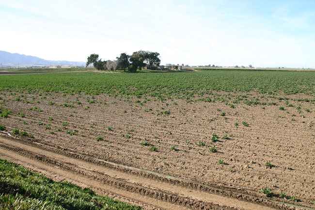This Salinas Valley cauliflower field has been ravaged by root maggot.