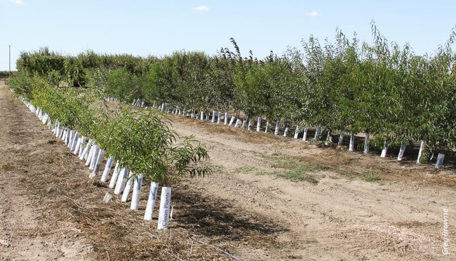 Rootstocks for almonds and stone fruits were tested for their resistance to the Prunus replant disease complex near Parlier.