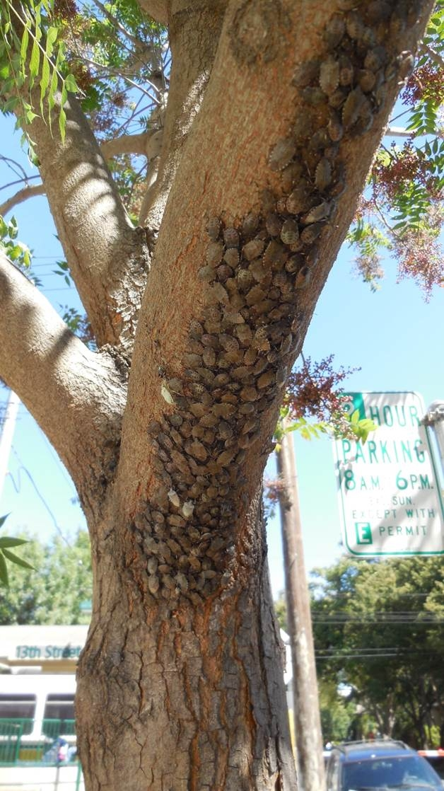 A resident in the Sacramento infestation site shot photos of brown marmorated stink bug aggregating on a tree.